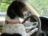 Passa col rosso per salvare un cane e il Giudice gli restituisce i punti della patente