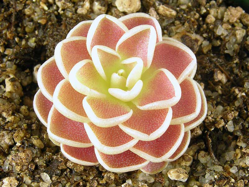 Pinguicula - Floriterapia: il potere dei fiori contro la fame nervosa - http://tormenti.altervista.org/floriterapia/