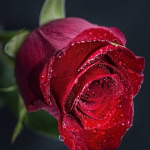 Profumo alla rosa fatto in casa: facile e ottima fragranza per tutti i nasi