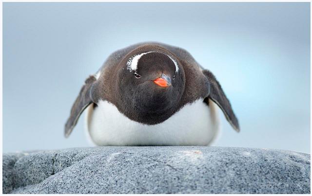antartide pinguino