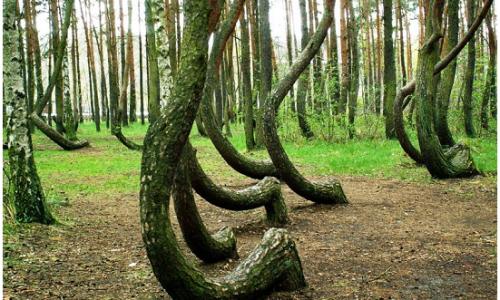 Crooked forest e il mistero dei pini storti