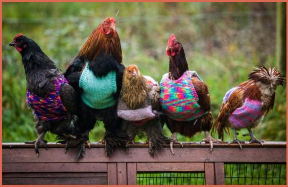 maglioni e cappotti per galline