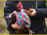 maglioni per galline