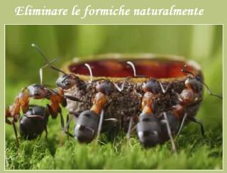 Come eliminare le formiche con metodi semplici e naturali