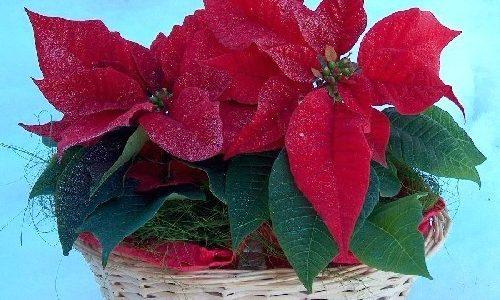 Fiori di Natale, un regalo per le feste dal successo garantito