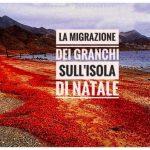 L'enorme migrazione di granchi sull'Isola di Natale